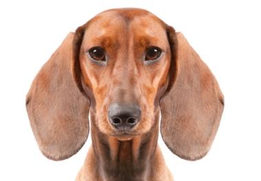 Dog Bit My Dogs Ear